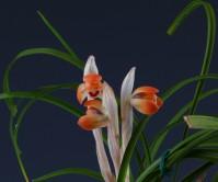 원판홍호(여추)6촉 꽃3경