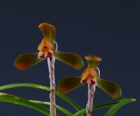 주금화(가명 금설 )6촉 꽃2경