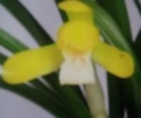 황화소심(산채후처음꽃)